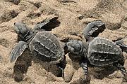 Loggerhead turtle (Caretta caretta) | Unechte Karettschildkröte (Caretta caretta) | Unechte Karettschildkröte (Caretta caretta)