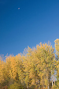 Idaho,North, Boundary County, Bonners Ferry.  Vibrant fall foliage rwith distant moon in blue skies in the Bonner Valley in autumn. PLEASE CONTACT US FOR DIGITAL DOWNLOAD AND PRICING.
