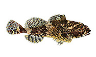 Bull Rout Myoxocephalus scorpius Length to 25cm<br /> Adult has an angular, almost lizard-like head armoured with shortish spines. There are no white barbels at corners of mouth (c.f. Sea Scorpion). Widespread and locally common, least so in SE. Seldom intertidal except in far N.