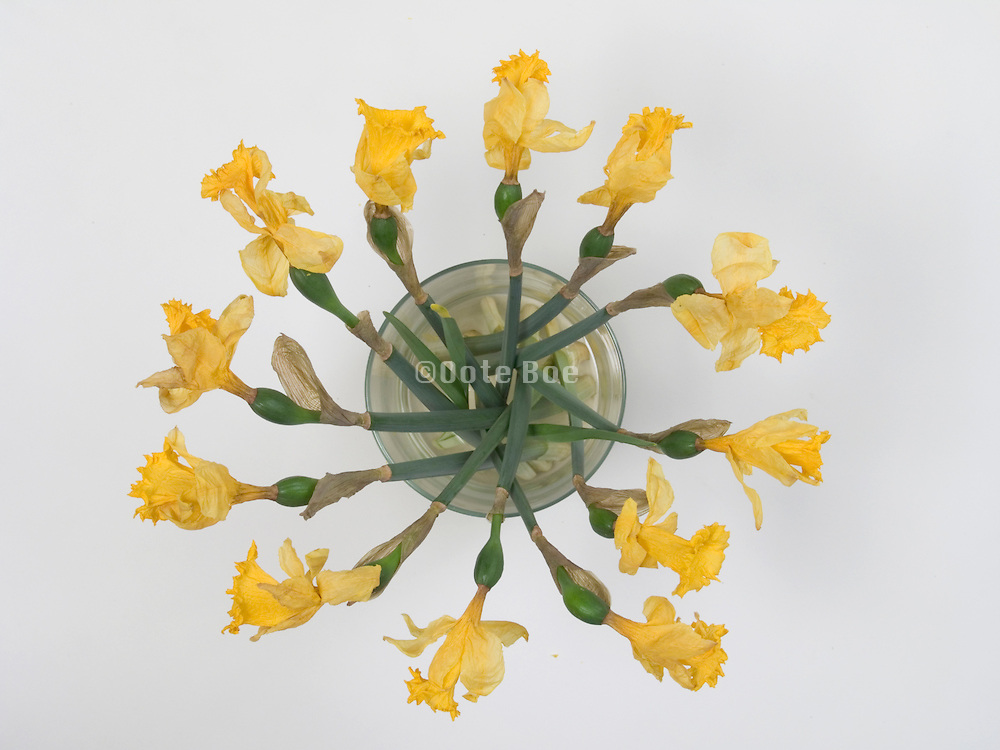 Daffodils arranged in a vase seen from above.