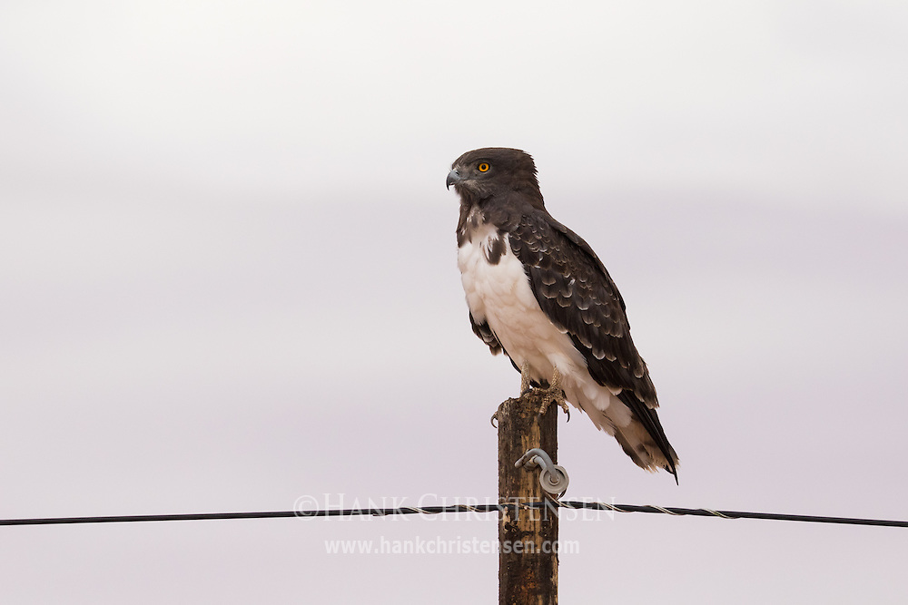 A black-chested snake eagle perches on the top of a power pole, Namibia, Africa.