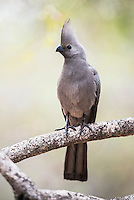 Grey Go-Away Bird, Kruger National Park, Limpopo, South Africa
