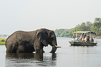 African elephant crossing the Chobe River and being watched by a boat load of toruists, Chobe River, Kasane, Botswana.