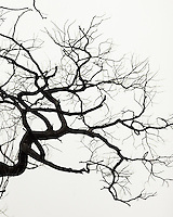 An interesting branch of a winter tree is sihouetted against a white sky.