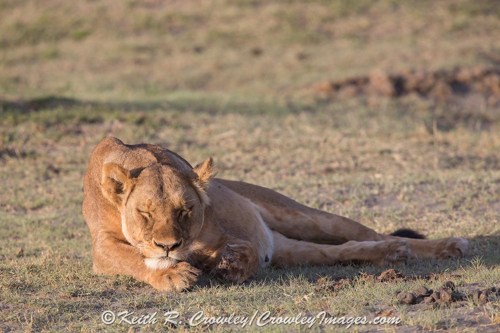 Female lion in east African habitat