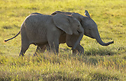 Young elephants playing in Amboseli National Park, Africa