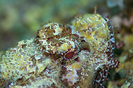 Red scorpionfish-Rascasse rouge (Scorpaena scrofa) of Méditerranée