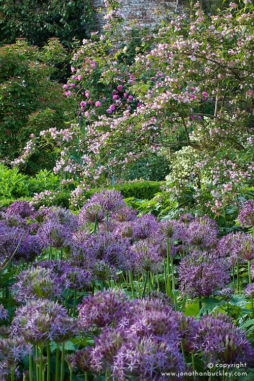 Allium cristophii syn. Allium christophii in The Rose Garden at Sissinghurst Castle