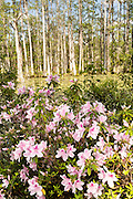 Azaleas blooming along the blackwater bald cypress and tupelo swamp during spring at Cypress Gardens April 9, 2014 in Moncks Corner, South Carolina.