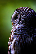 A barred owl (Strix varia) watches for food from its perch in dense forest in Edmonds, Washington. Barred owls feed mainly on small mammals, but will also prey upon other birds, reptiles, invertibrates and amphibians if the opportunity presents itself.