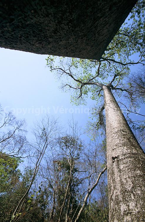 Il s'agit d'un des derniers spécimens en vie de l'espèce Baobab adansonia madagascariensis bomaensis...Il s'agit d'un des derniers spécimens en vie de l'espèce Baobab adansonia madagascariensis bomaensis.