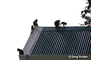 crab-eating macaques or long-tailed macaques, Macaca fascicularis, on roof of Camayan Beach Resort, Subic Bay Freeport Zone, Philippines