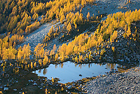 Alpine larches (Larix lyallii) in autumn foliage are lit by the evening sun, Purcell Mountains British Columbia.
