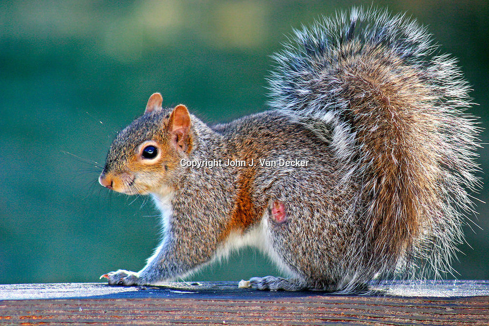 Wounded Eastern Gray Squirrel in profile