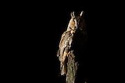 Junge Waldohreule (Asio otus) nutzt Eichentotholz als Ansitz.