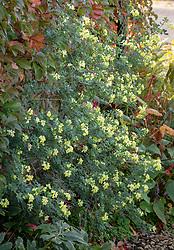 Coronilla valentina subsp. glauca 'Citrina' growing on a shady wall.