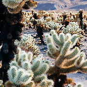 United States, California, Joshua Tree national park, Cholla cactus garden.
