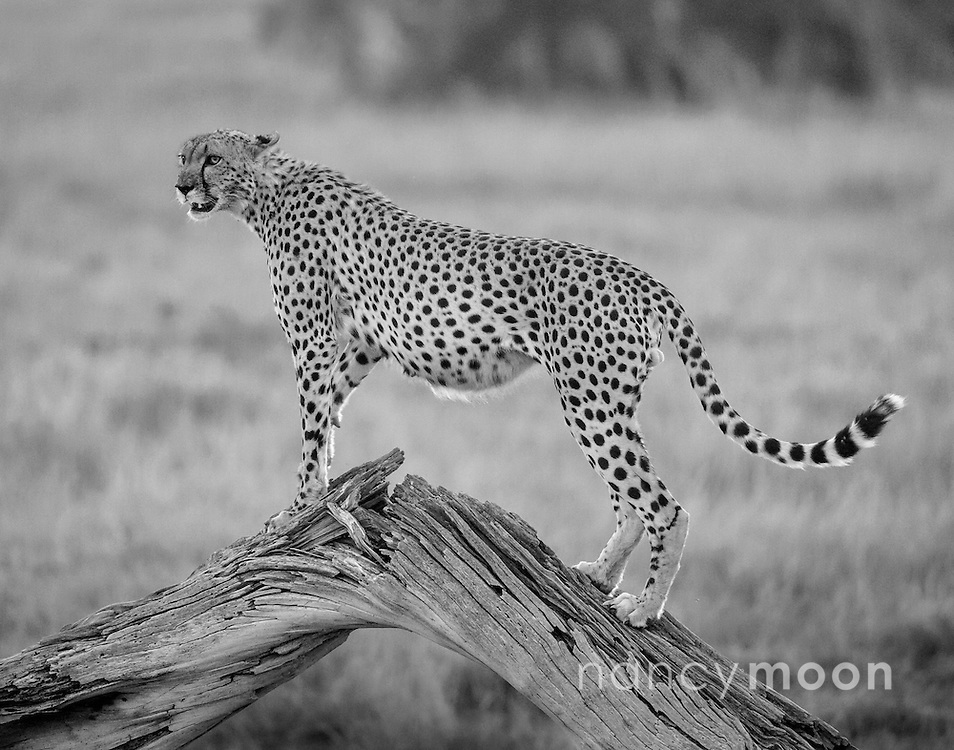 Cheetah standing on a tree stump for elevation in Amboseli, Kenya.<br /> <br /> For all details about sizes, paper and pricing starting at $85, click &quot;Add to Cart&quot; below.