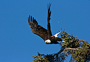 Eagle launching from the top of a tree