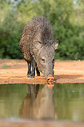 Javelina in Texas