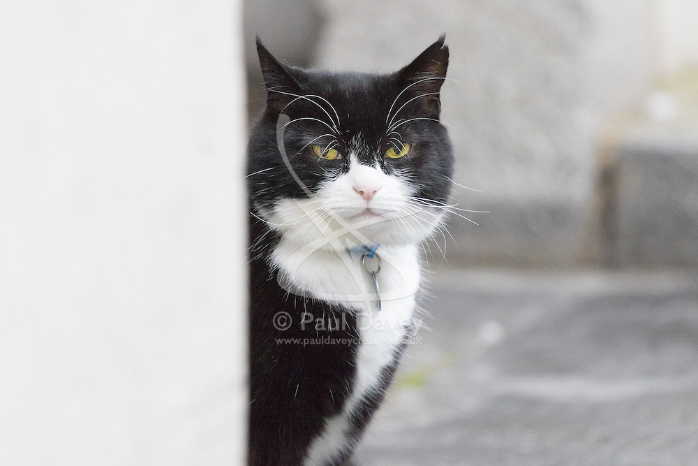 Downing Street, London, February 21st 2017. Palmerston the Foreign Office cat is spotted in Downing Street in London.