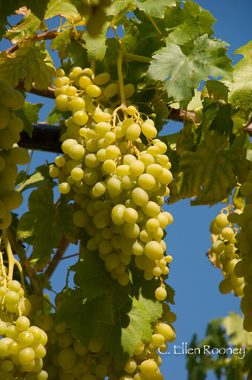 Grapes growing on an arbour on the island of Ithaca, The Ionian Islands, Greece