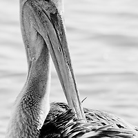 Black and white image of a juvenile brown pelican (Pelecanus occidentalis) preening, Swans Cove Pool, Chincoteague National Wildlife Refuge, Assateague Island, Virginia.