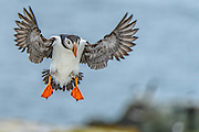 Atlantic puffin coming in for a landing with wings spread