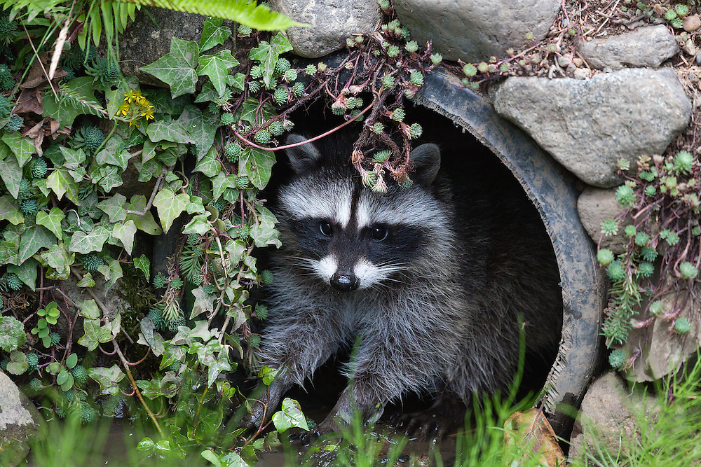 Raccoon, Lummi Island, Washington state