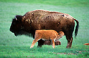 Bison (Bison bison) nursing calf in meadow Yellowstone National Park, Wyoming ..Subject photograph(s) are copyright Edward McCain. All rights are reserved except those specifically granted by Edward McCain in writing prior to publication...McCain Photography.211 S 4th Avenue.Tucson, AZ 85701-2103.(520) 623-1998.mobile: (520) 990-0999.fax: (520) 623-1190.http://www.mccainphoto.com.edward@mccainphoto.com.
