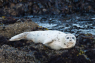 A harbor seal looks toward the beach from an offshore rock outcropping, Pescadero State Beach, California.