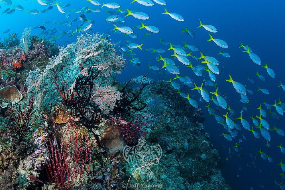 Schooling Fusiliers above a Reef Slope<br /> <br /> Shot in Indonesia