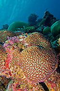 Alberto Carrera, Coral Reef, Reef Building Coral, South Ari Atoll, Maldives, Indian Ocean, Asia