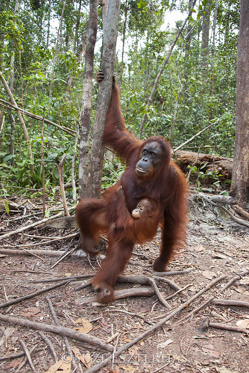 Bornean Orangutan <br /> Pongo pygmaeus<br /> Mother and three-year-old baby<br /> Tanjung Puting National Park, Indonesia