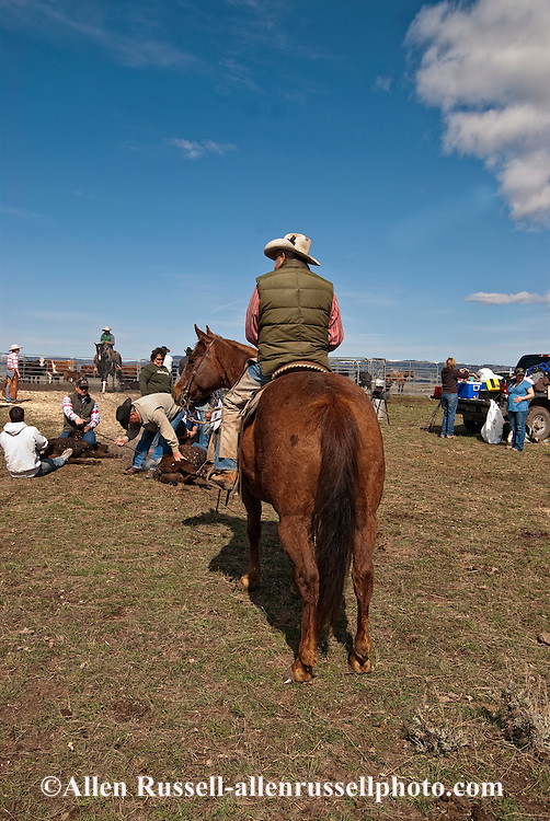 Cowboy Lyle Woosley ropes and drags calves to the fire to be branded, Wilsall, Montana