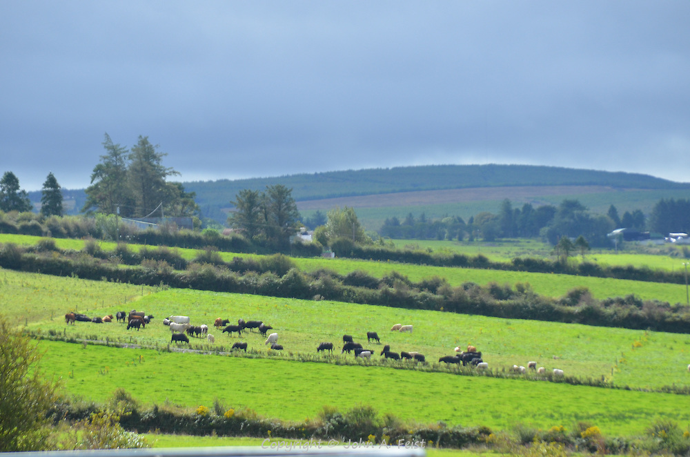 The cattle grazing in the sun as the skies are changing.  Brosna, County Kerry, Ireland