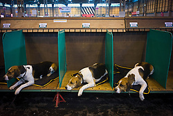 © London News Pictures. 07/03/2013. Birmingham, UK. Three beagles resting after their show on day one of Crufts at the Birmingham NEC Arena on March, 07, 2013 in Birmingham, England.  Crufts, which is the largest annual dog show in the world, hosts over 20,000 dogs and owners who compete in a variety of categories. Photo credit : Ben Cawthra/LNP