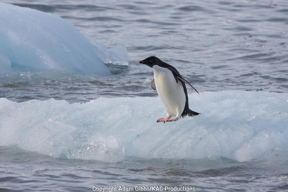 Adelie penguin, Antarctica, Pygoscelis adeliae, on iceberg.