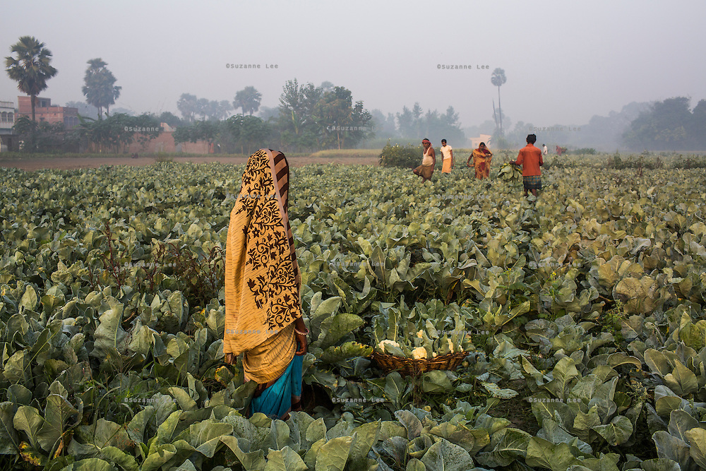 Women vegetable farmers, all members of a Farmer's Producer Group, harvest cauliflower vegetables in their fields in Machahi village, Muzaffarpur, Bihar, India on October 27th, 2016. Non-profit organisation Technoserve works with women vegetable farmers in Muzaffarpur, providing technical support in forward linkage, streamlining their business models and linking them directly to an international market through Electronic Trading Platforms. Photograph by Suzanne Lee for Technoserve