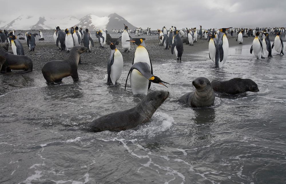 Antarctica, South Georgia Island (UK), King penguins (Aptenodytes patagonicus) and Antarctic Fur Seals (Arctocephalus gazella)  approaching surf along Rosita Harbour near Salisbury Plains