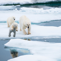 Full of fear and with flattened ears the mother and her cubs flee, jumping from ice floe to ice floe. Location: Eastern shore of Nordaustlandet, Northeast Svalbard, Arctic Europe