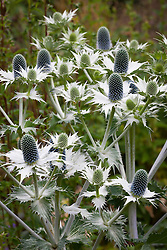 Eryngium giganteum 'Silver Ghost' AGM. Sea holly