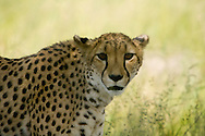 Cheetah (Acinonyx jubatus)<br /> AFRICA: Namibia<br /> Cheetah Conservation Fund <br /> near Otjiwarongo off D2440<br /> 2.April.2007<br /> J.C. Abbott &amp; K.K. Bauer