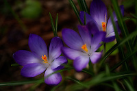 A trio of crocuses emerges from among the grass