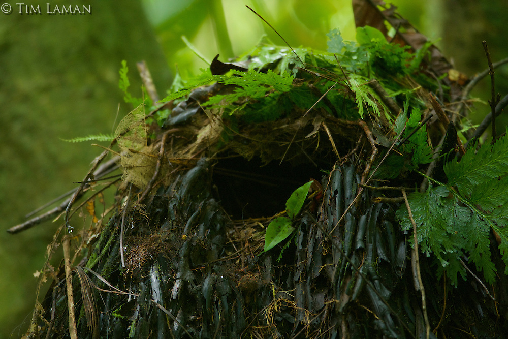 Nest of Ivory-breasted Pitta with egg visible.  The nest is built on the base of a dead palm tree, and is a roofed over hut.