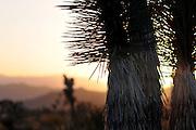 Joshua Trees at Sunset, Joshua Tree National Park
