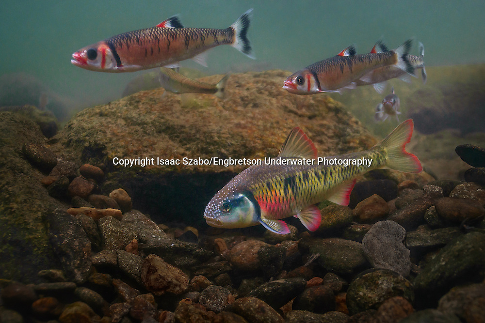 Striped Shiner<br /> <br /> Isaac Szabo/Engbretson Underwater Photography
