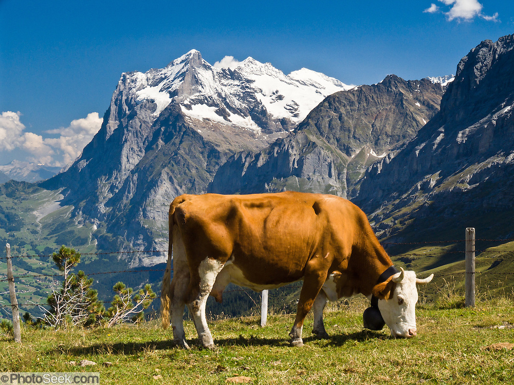 "The Wetterhorn or ""Weather Peak"" (12,143 feet) rises above a cow grazing in the Alps at Kleine Scheidegg in the Berner Oberland, Switzerland, Europe. Grindelwald can be reached by train (Berner Oberland Bahn) from Interlaken. The Bernese Highlands are the upper part of Bern Canton. UNESCO lists ""Swiss Alps Jungfrau-Aletsch"" as a World Heritage Area (2001, 2007)."