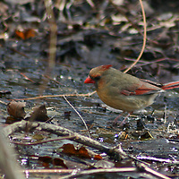 Female Cardinal taking a bath (Cardinalis cardinalis)