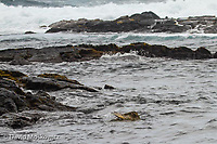A Pacific green sea turtle foraging along the shore. Ka'u, Hawaii.
